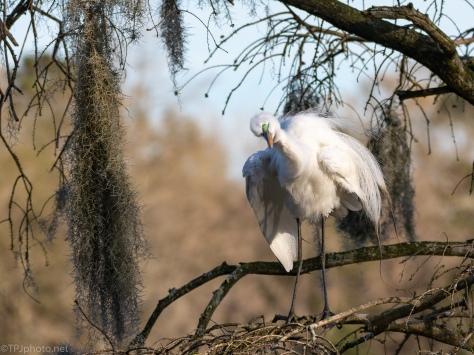 Getting All Fluffy, Egret
