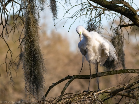 Getting All Fluffy, Egret