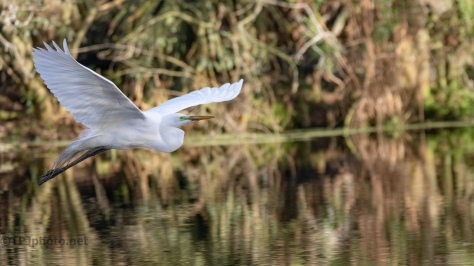 A Quick Trip Through A Swamp, Egret