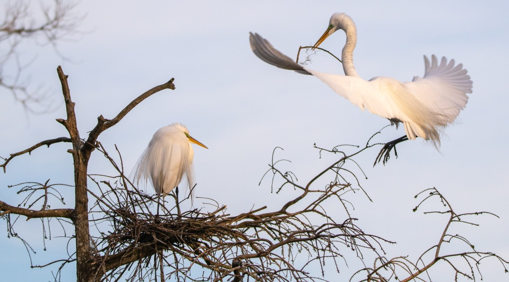 Egrets And Some Golden Hour