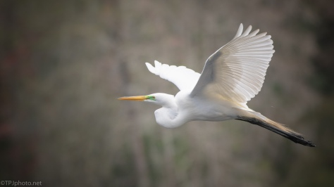 Soft And Pretty, Great Egret