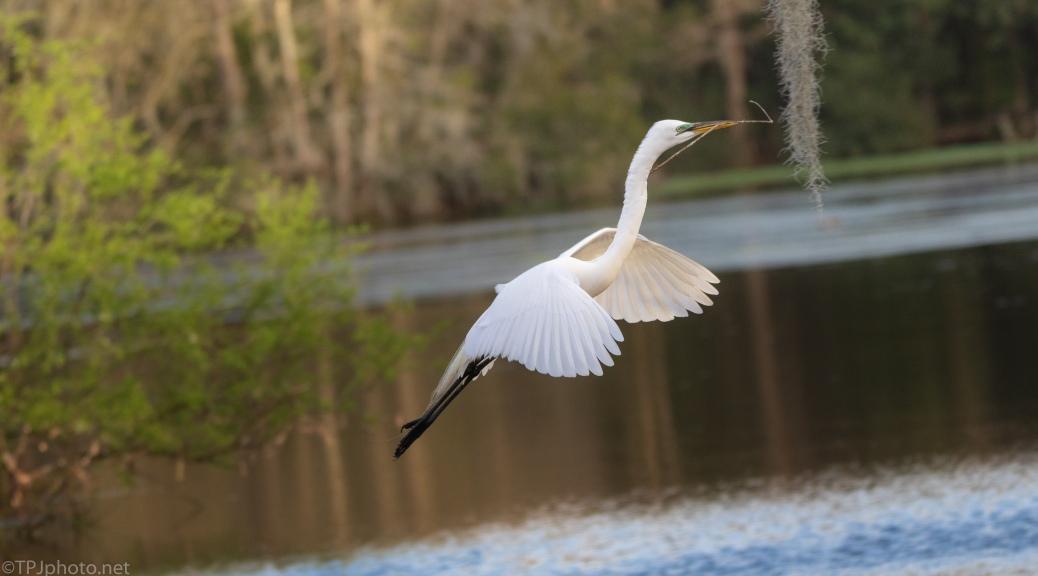 Slow Motion Egret