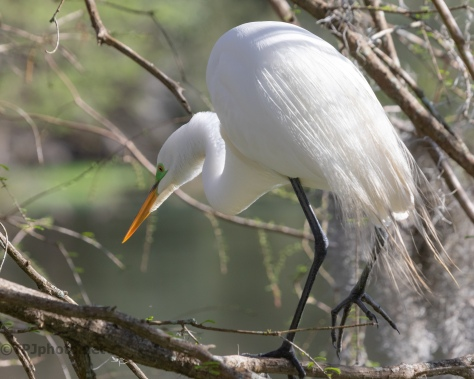 Always Hunting, Great Egret