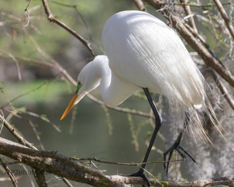 Always Hunting, Great Egret