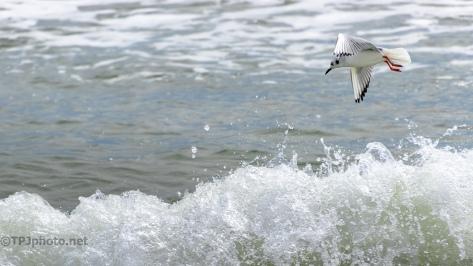 Bonaparte's Gulls Work Different