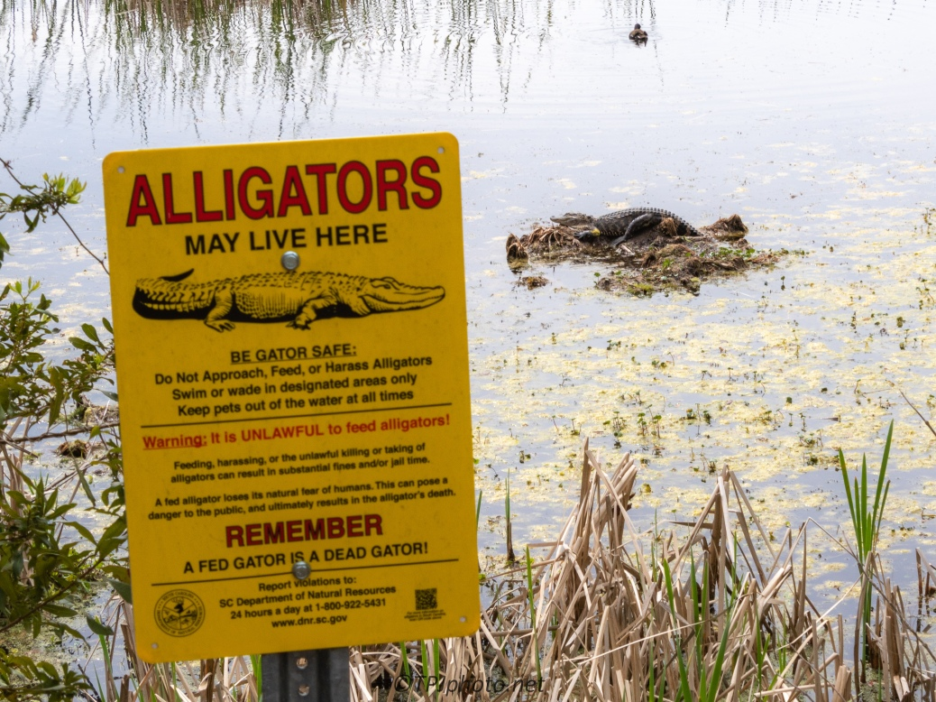 A Sense Of Humor, Alligator