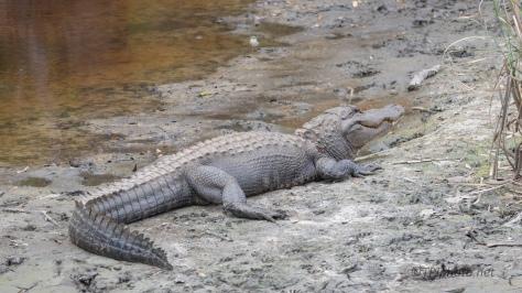 Start Of An Alligator Day