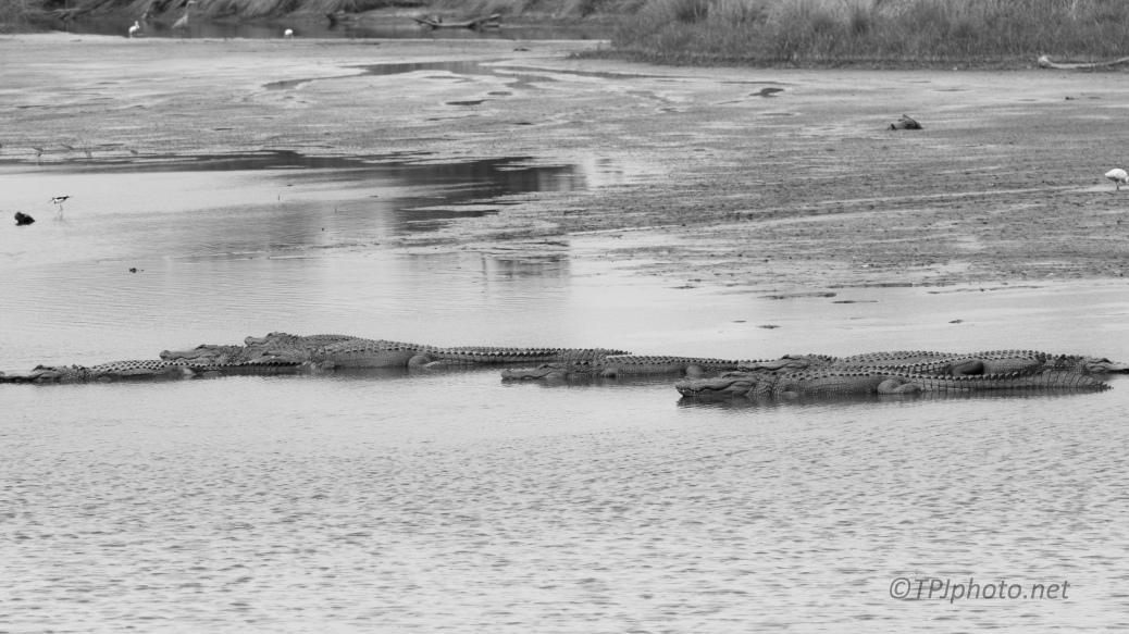 Like An Old Movie, Alligators