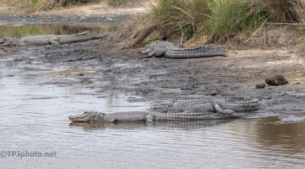 A Watering Hole, Alligator