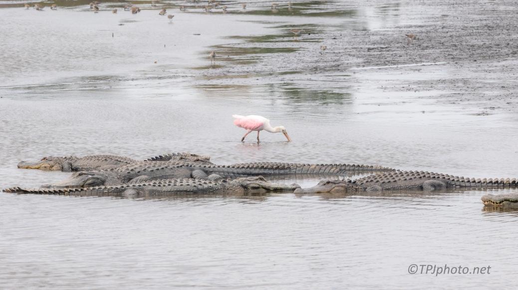 Pretty Confident, Spoonbill, Alligator