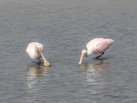 Feeding In New Waters, Spoonbill