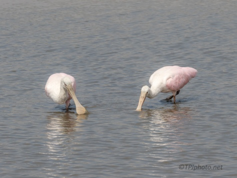 Feeding In New Waters, Spoonbill