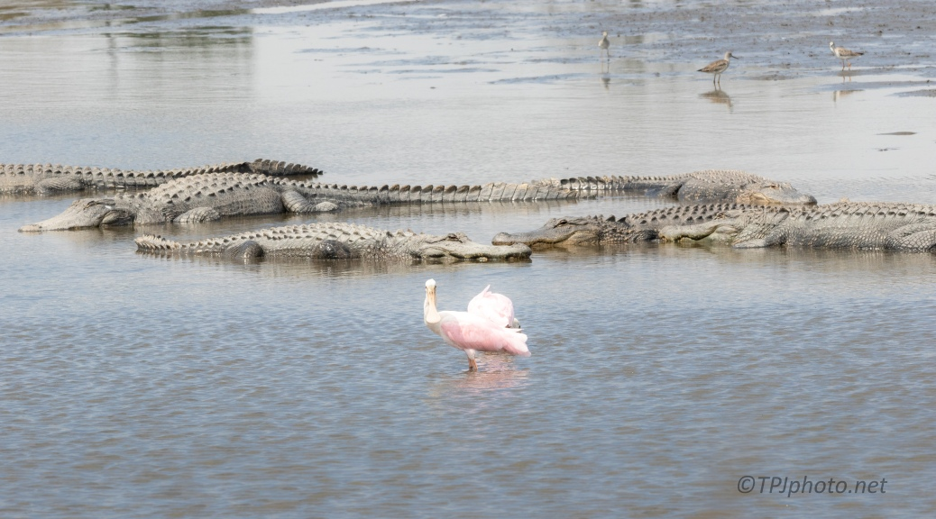 A Walk On The Wild Side, Spoonbill, Alligator