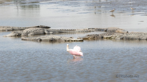 A Walk On The Wild Side, Spoonbill, Alligator