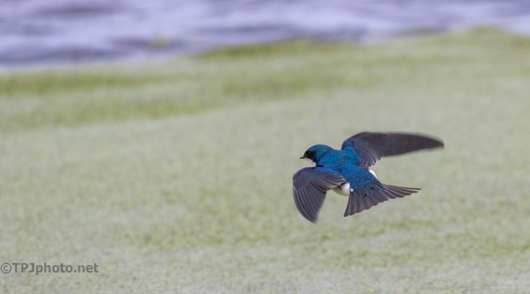 Hunting Tree Swallow