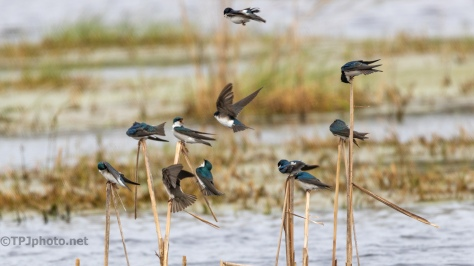 Swallows On The Reeds