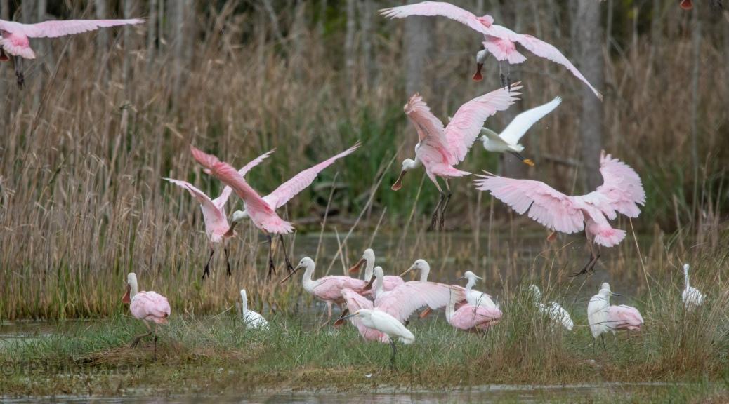 A Pink Parade, Spoonbills