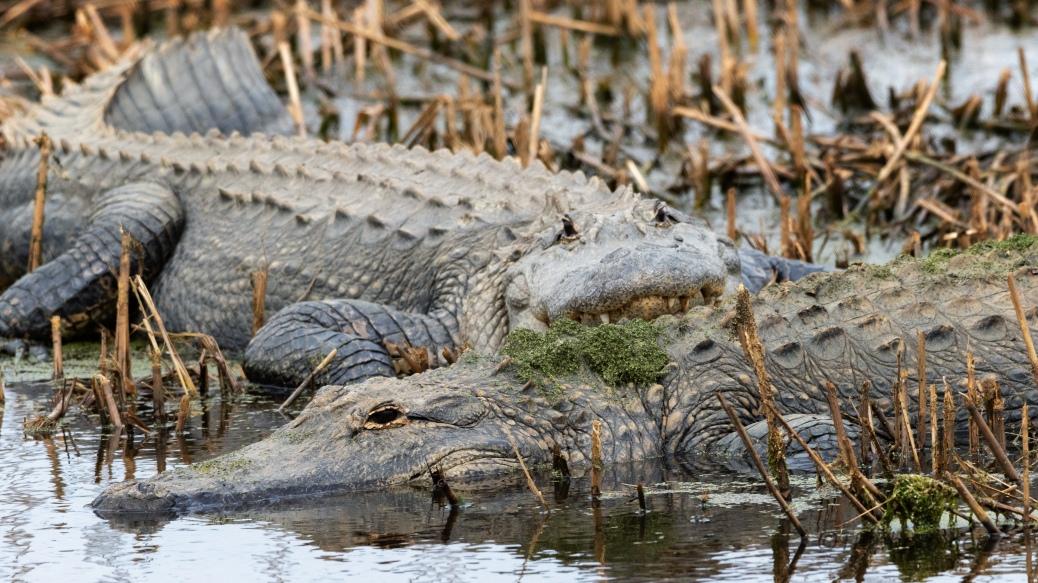 By A Back Dike, Alligator