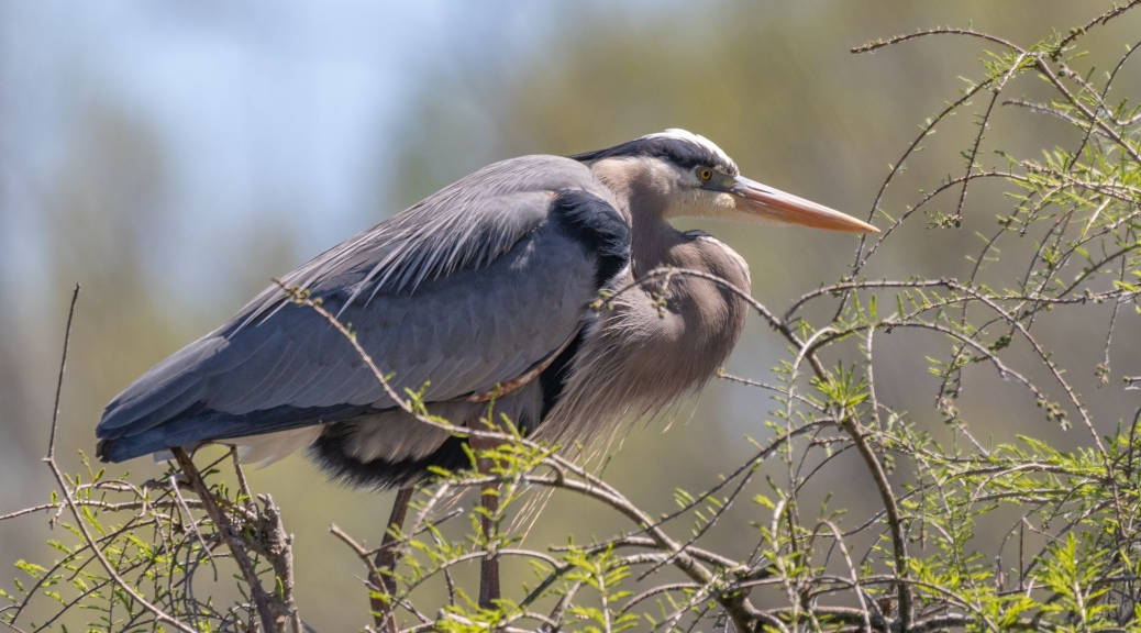 Great Blue Heron, Doing Absolutely Nothing