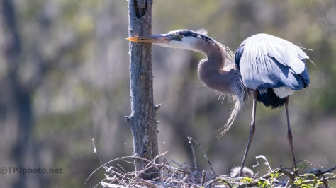 Sharpening Her Bill, Heron