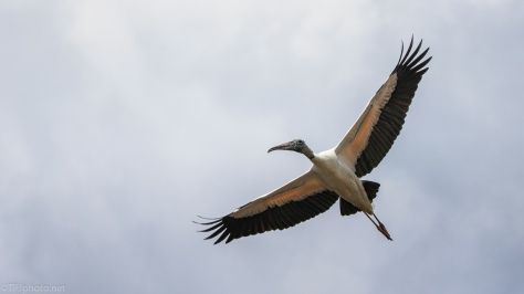 This Is The Most Magnificent In Flight, Wood Stork