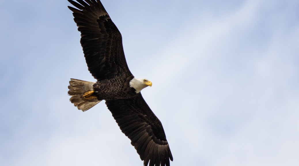 Over The Marsh, Eagle