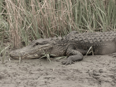 On A Canal, Alligator