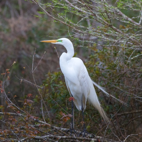 Great Egret In A Pose