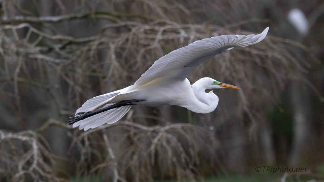 Great Egret Pass Through