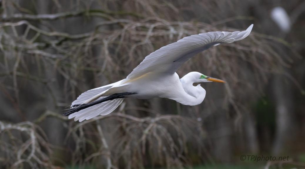 Great Egret Pass Through