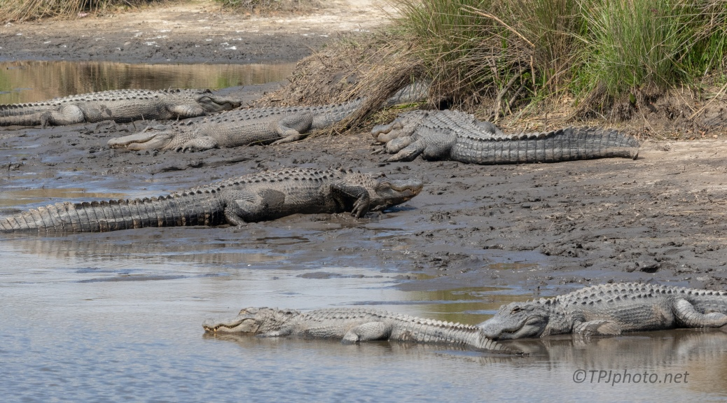 Room For One More, Alligator