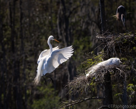 Catching A Shadow, Egret
