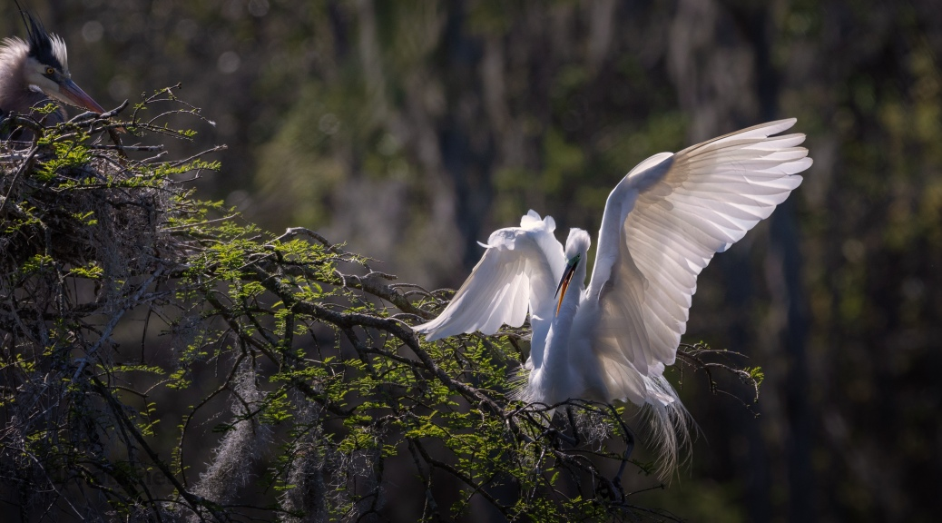 Great Egret Light From Behind