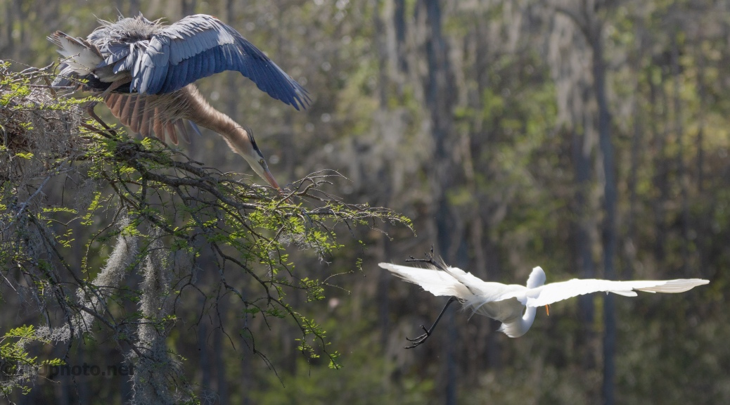 Chasing Intruders, Heron And Egret