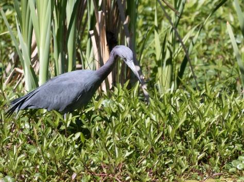 Little Blue In Wetlands