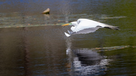 Great Egret, Reflections Of The Ripples