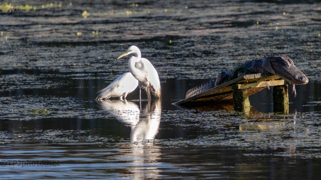 Having A Hard Year, Egrets
