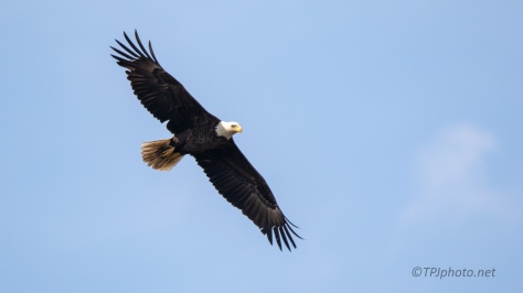 Above A Watering Hole, Bald Eagle