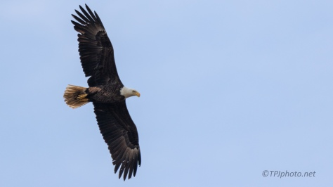 Fly By, Bald Eagle