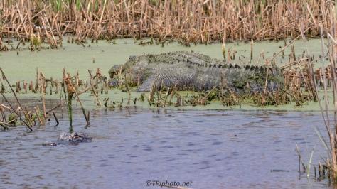 Off Our Regular Path, Alligator