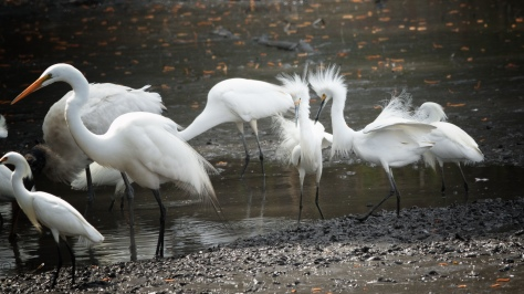 Snowy Egrets Are Trouble