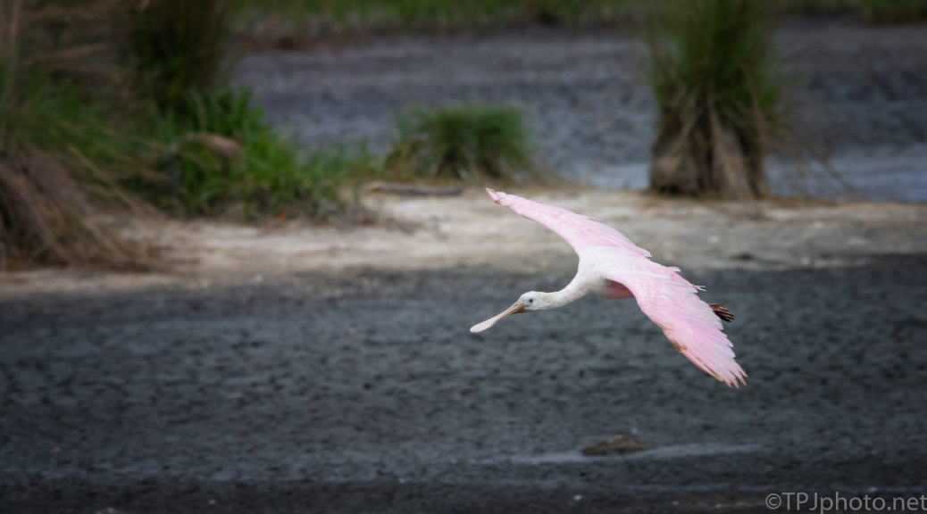 Spoonbill On A Mission