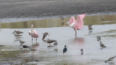 Look Out, Crash Landing, Spoonbill