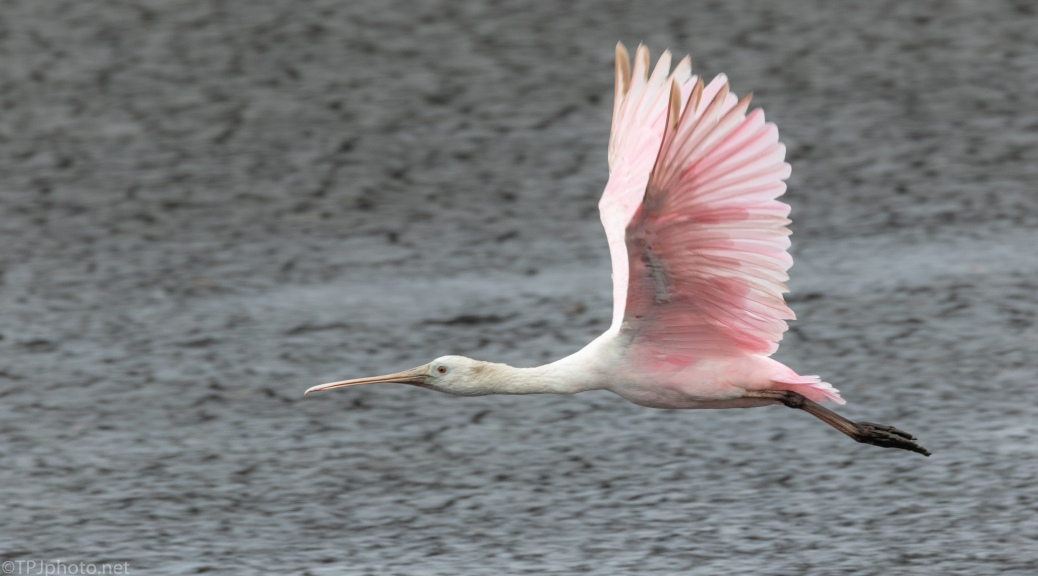 Roseate Spoonbill Coming To Feed