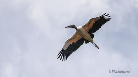 Wood Stork Gliding