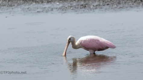 Spoonbill In A Shallow Marsh