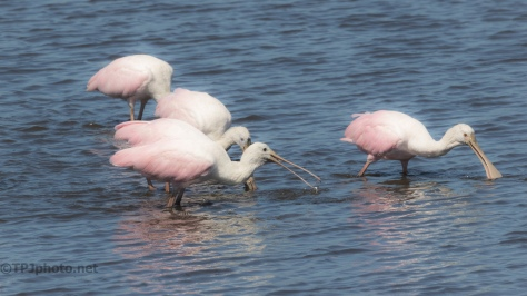 Attack Of The Spoonbill