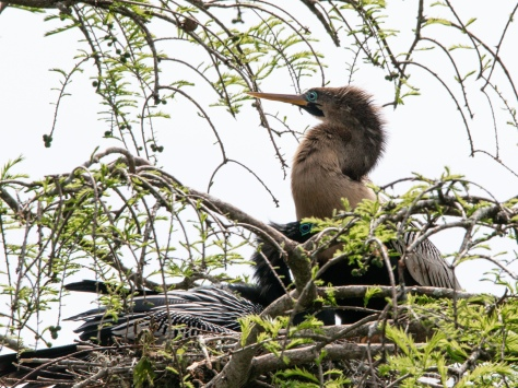 Anhinga Setting Up House