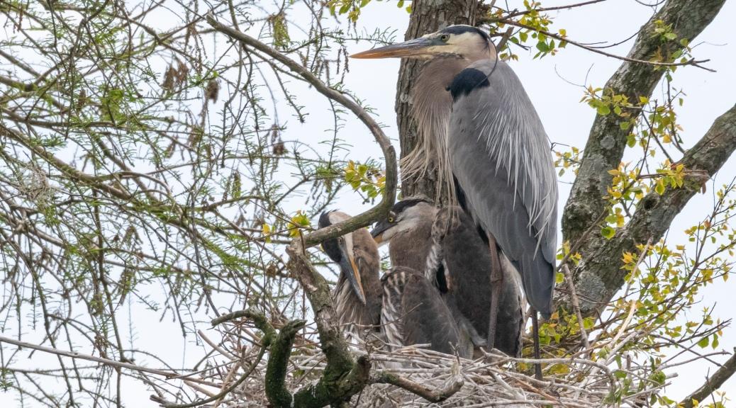 Family Portrait, Heron