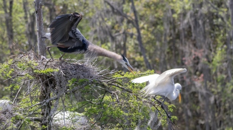 On Going Dispute, Heron And Egret